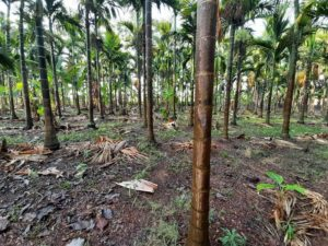 Areca Nut Plantation